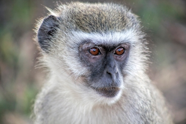 Baboon - Mary Logar (Commended)