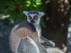 Lemur - Jessica Valasinavicius (Commended)
