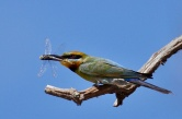Rainbow Bee-eater - Sharon Oakley (Highly Commended)