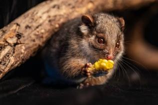 Ringtail possum - Paul Elliott (Credit)