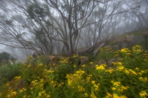 Beverley Van Praagh - Snowgums in the fog (Commended)