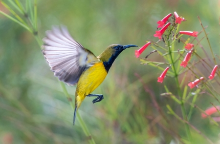 Olive-backed Sunbird - Beverley Van Praagh (2nd Place)