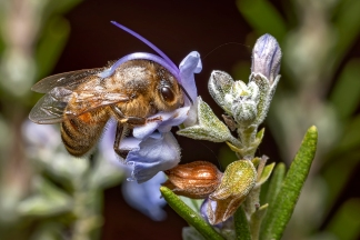 Andrew Haysom - Bee on Rosemary Flower (Merit)