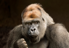 Andrew Haysom - Western Lowland Gorilla (Highy Commended)