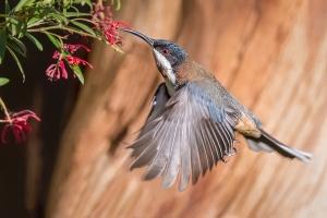 Beverley Van Praagh - Australia's Hummingbird (Merit)