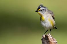 Andrew Haysom - Posing Pardalote (Highly Commended)