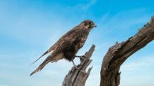 Clive Williams - Bird of Prey (Merit)