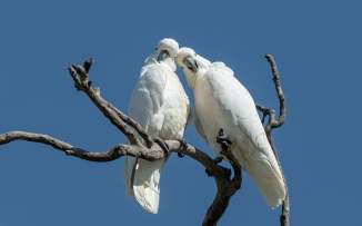 Clive Williams - Lovebirds (Highly Commended)